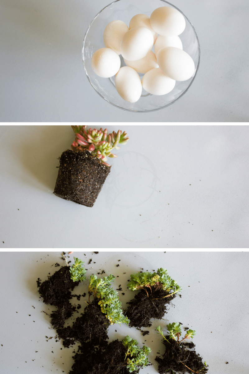 Egg Shell Succulents Do it yourself